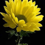 amarillojade